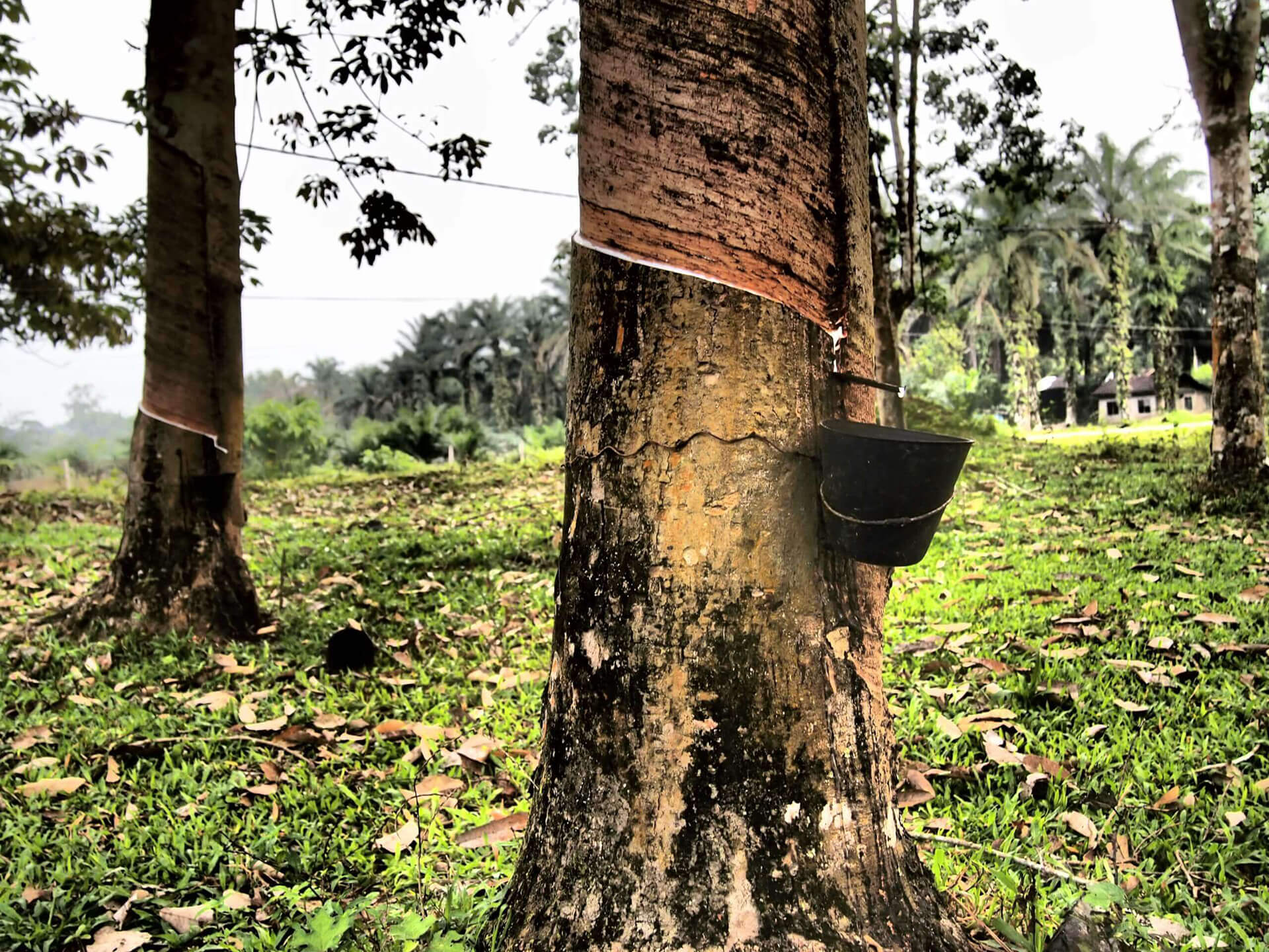 The Deepening Rubber Crisis in Kerala: Impending Consequences of the AIFTA